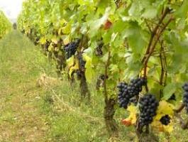 Mechanized vineyard with 7 ha of area